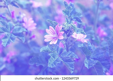 Mallow forest mallow, flowering herbaceous plant weed, floral background close-up