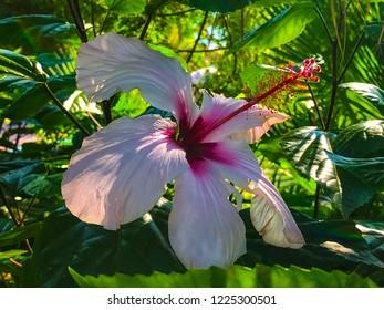 mallow, hibiscus, sudanese rose, hibiscus,