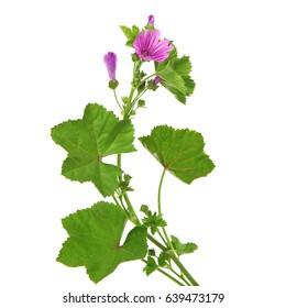 Mallow plant in bloom, Malva sylvestris