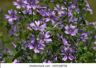 Mallow plant, Malva sylvestris  - blue common mallow. Uncultivated and healthy plant, herbal medicine