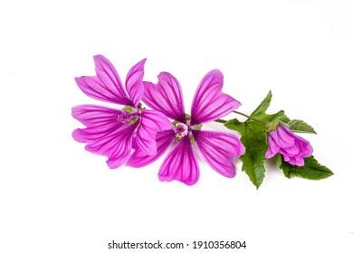 Mallow plant (Malva Vulgaris) flower isolated on white background - Shutterstock ID 1910356804