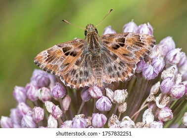 Mallow skipper (Carcharodus alceae) butterfly resting on flower