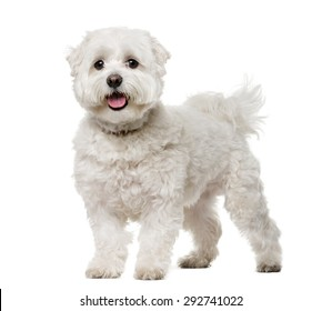 Maltese (5 years old) in front of a white background