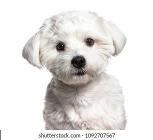Maltese dog , 11 months old, against white background