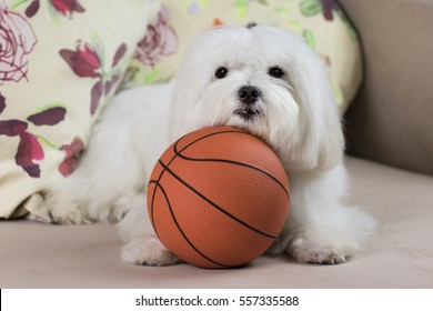 Maltese dog and Basketball / Adorable maltese dog holding a basketball on a couch with colorful pillows on the background