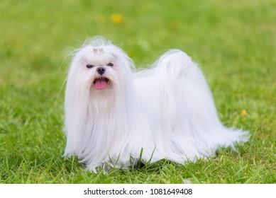 Maltese dog in the green park. Dog portrait