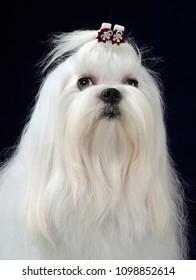 Maltese dog head-shot portrait, isolated on white background.