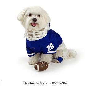 Maltese dog isolated on white wearing blue football uniform