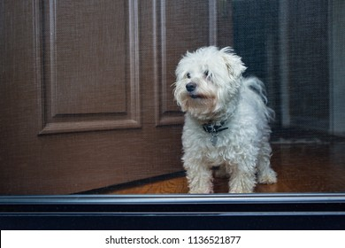 maltese dog looking out front screened door of home