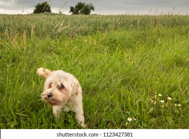 Maltese dog mixed with a Shih Tzu playing in a green meadow.