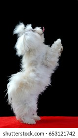 Maltese dog portrait stand On two legs black background.