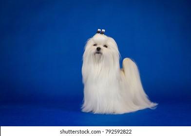 Maltese dog posing in the blue studio background. Amazing maltese show dog.