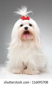 maltese dog with red bow on head