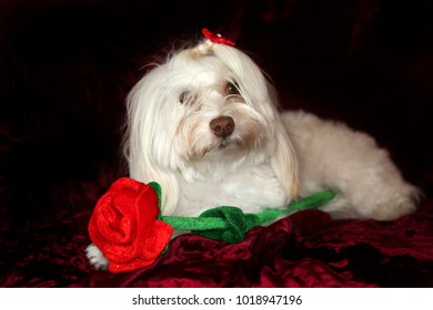 Maltese dog with a red rose for Valentines Day