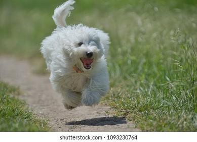 Maltese dog running and jumping
