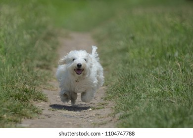 Maltese dog running and jumping on path