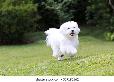 Maltese Dog Running / A white maltese dog running on green grass and plants background