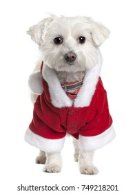 Maltese dog in Santa Claus suit, 3 years old, standing in front of white background