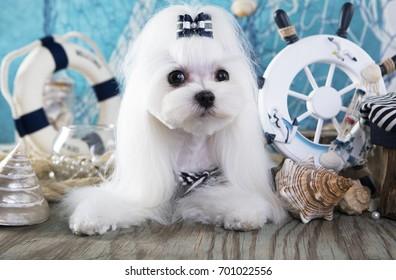 maltese dog and sea decor