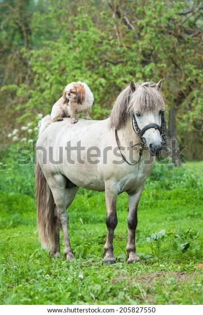 Maltese dog sitting on the back of grey pony