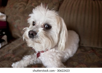 Maltese Dog sitting on Couch
