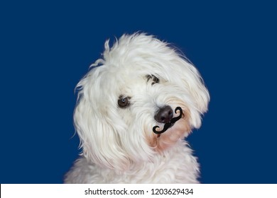 MALTESE DOG TILTING THE HEAD SIDE AND WEARING A FAKE MUSTACHE. ISOLATED AGAINST BLUE BACKGROUND.