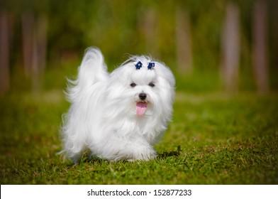 maltese dog walking outdoors