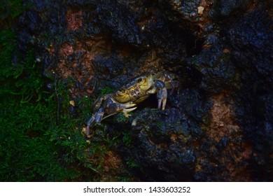 Maltese freshwater crab, Potamon fluviatile, muddy burrow nest, claws for defense against intruders. threatened rare crab found on the Maltese Islands