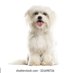 Maltese in front of a white background