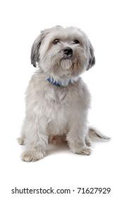 Maltese mix dog