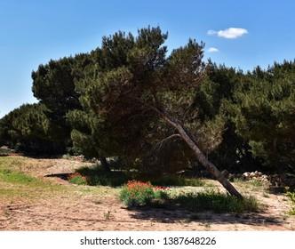 Maltese nature. Malta nature. Maltese nature beauty nearby Armier bay, L-Armier. Beautiful green spring in Malta