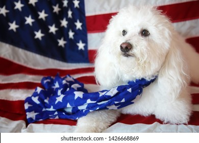 Maltese - Poodle aka Maltepo dog with an American Flag background and scarf. Forth or July with pets concept. Room for text overlay. 4th of July. American Dog with American Flag.