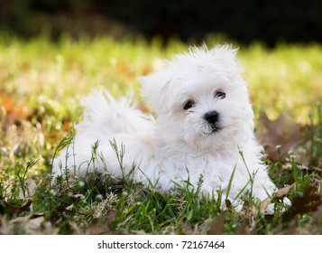 Maltese puppy (2 months old) laying outside