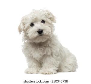 Maltese puppy (3 months old)