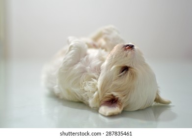 Maltese puppy at the age of three weeks