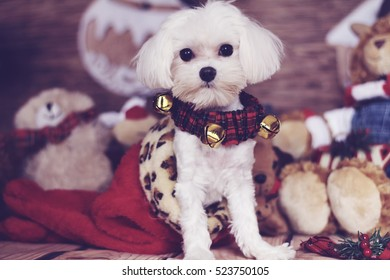 maltese puppy in a christmas stocking