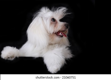 Maltese Puppy in front of A black background