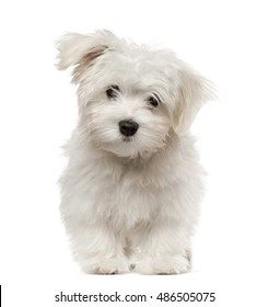 Maltese puppy looking at camera, 4 months old, isolated on white