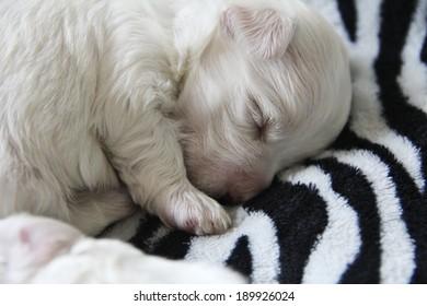 maltese puppy sleeping