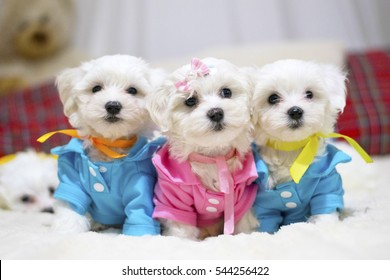 Maltese Puppy Images, Stock Photos & Vectors | Shutterstock