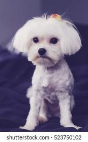 maltese shaved down puppy cut vertical
