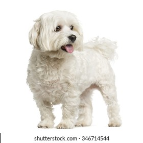 Maltese standing in front of a white background