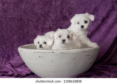 Maltese white puppies