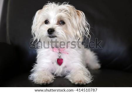 Maltese Yorkie Mix Known Morkie Puppy Stock Photo Edit Now