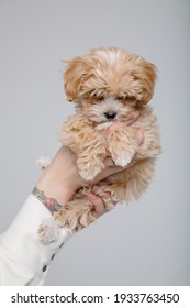 Maltipoo dog. Adorable Maltese and Poodle mix Puppy in women hands