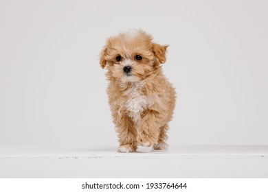 Maltipoo dog. Adorable Maltese and Poodle mix Puppy in studio