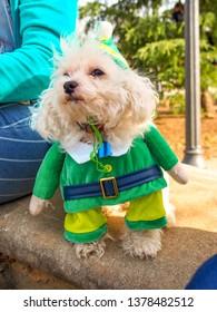 Maltipoo dog at the park in a leprechaun costume.