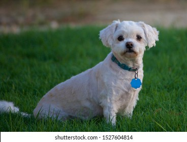Maltipoo obediently sitting in green grass at evening