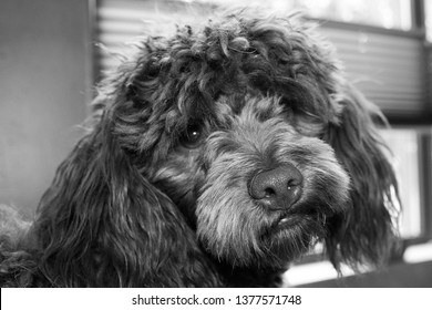 A Maltipoo is one that was bred from a Maltese and a Poodle. This dog is a combination of two recognized breeds This maltipoo is called Imara, its a choclat color stuborn nice dog