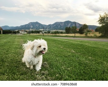 A Maltipoo (Poodle and Maltese crossbreed dog) in a field with Boulder, Colorado's Rocky mountains skyline background
